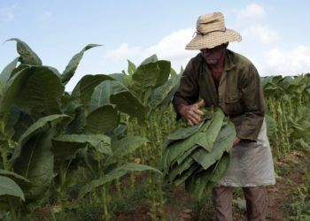 A worker collects tobacco leafs on a farm in San Juan y Martínez, in the province of Pinar del Río. Photo: Jorge Luis Baños / IPS.