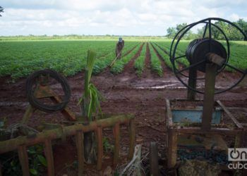 Bean cultivation in the state-run Cítricos Ceiba agricultural enterprise, in the Cuban province of Artemisa. Photo: Otmaro Rodríguez.