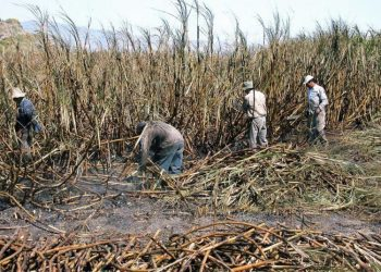 Sugar harvest in Cuba. Photo: Maite Corsín.