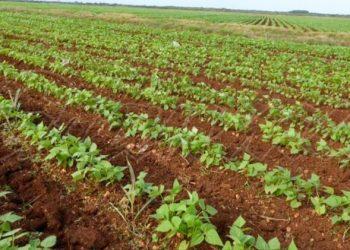 Bean cultivation in Cuba. Photo: granma.cu