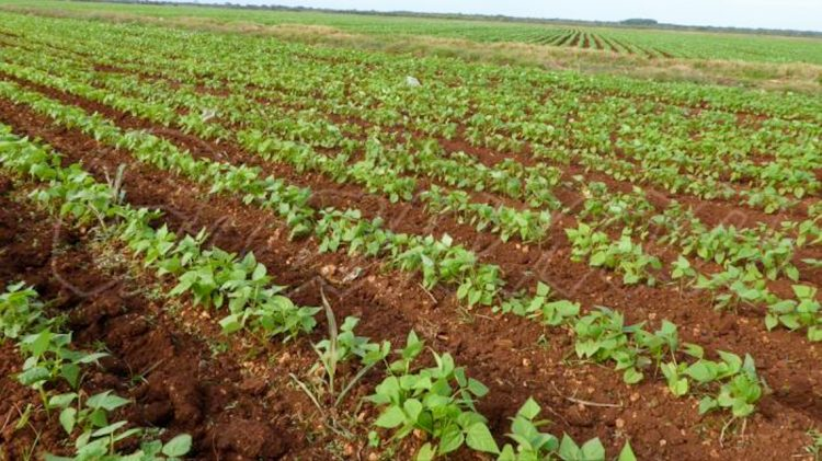 Bean cultivation in Cuba. Photo: granma.cu