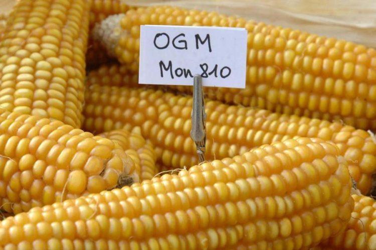 GM maize. Photo: leisa-al.org