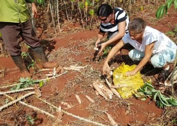 Usufructuaries collect cassava harvest in Camagüey. Photo: YouTube.