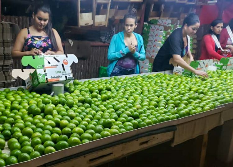 Workers from the La Esperanza farm prepare limes for export. Photo: cubadebate.cu