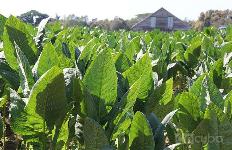 Producción de tabaco en Cuba