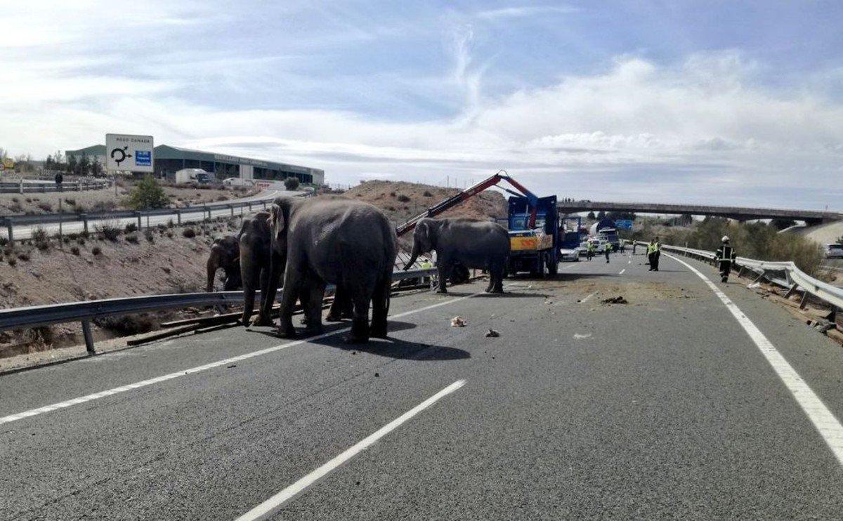 En una de las autopistas de Albacete el camión que transportaba a las elefantas se volcó y los animales resultaron golpeados. Foto: Twitter.