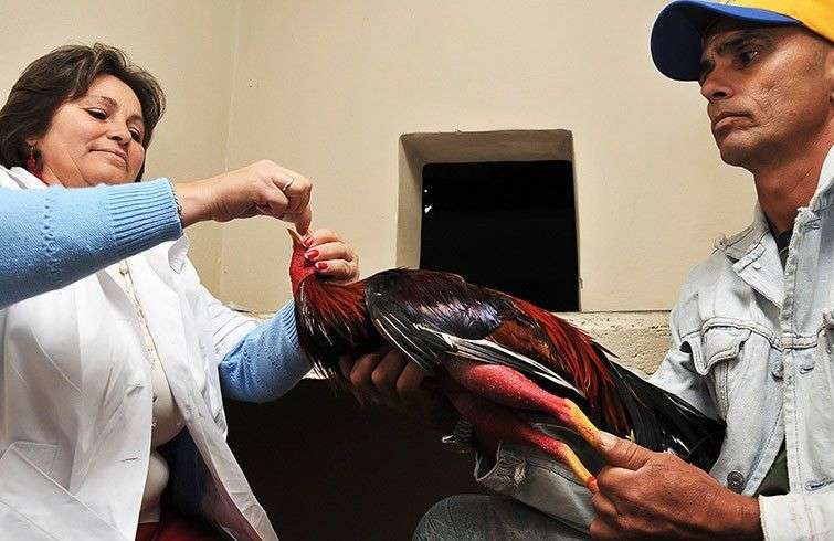 Riñas de gallos en Cuba