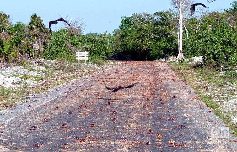 Además de Guanahacabibes, en otros cuatro puntos del archipiélago cubano, incluyendo la Isla de la Juventud y la Ciénaga de Zapata, se producen migraciones similares