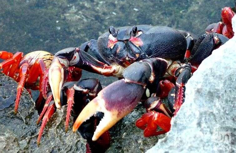 El cangrejo rojo posee notables diferencias con otras especies y resulta muy llamativo por su color