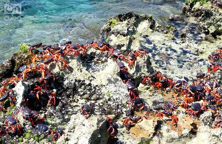 red crabs cuba sea shore