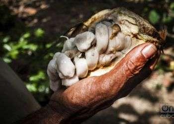 Fruto del cacao. Foto: Archivo OnCuba.