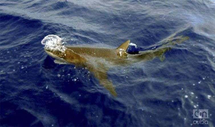 Pocas especies en la tierra infunden tanto respeto como los tiburones / Foto: Ronald Suáres Rivas
