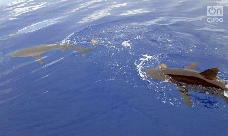 En los mares que rodean a Cuba habitan más de 50 especies de tiburones, pero los ataques a humanos no son frecuentes / Fotos: Ronald Suáres Rivas