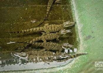 Cría de cocodrilos en cautiverio / Foto: Yariel Valdés