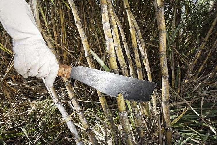 sugarcane_16_hd