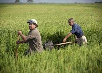 Cosecheros de arroz en Texas. Foto: Michael Stravatovia/ The Texas Tribune