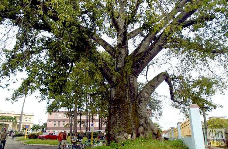 El presidente de la Asociación Yoruba de Pinar del Río, afirma que para cortar uno de estos árboles se deben reunir varios santeros o babalaos, y pedirle permiso a los orishas / Foto: Ronald Suárez
