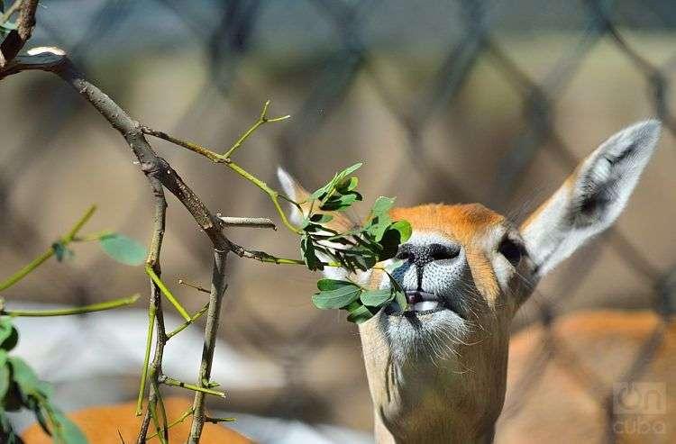El Antílope, mamífero natural de Oriente Medio, Asia y África, es comunmente confundido con el ciervo. Zoológico de Camagüey. Foto: Otmaro Rodríguez.