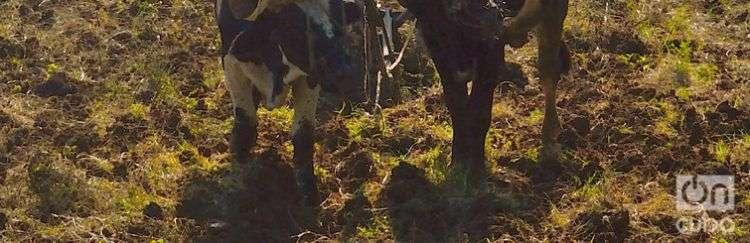 En esta imagen de archivo, un campesino utiliza bueyes para arar la tierra, en Cuba. Foto: Otmaro Rodríguez.