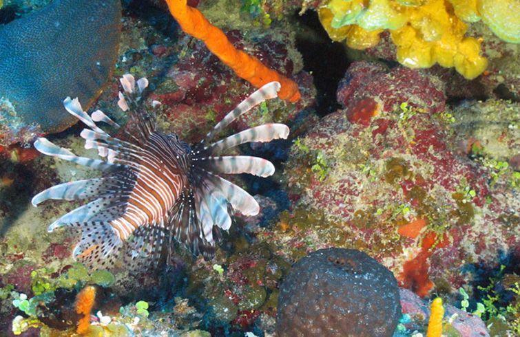 """Los arrecifes coralinos cubanos mostraron una """"excelente salud"""". Foto: Cuba's Twilight Zone Reefs and Their Regional Connectivity."""