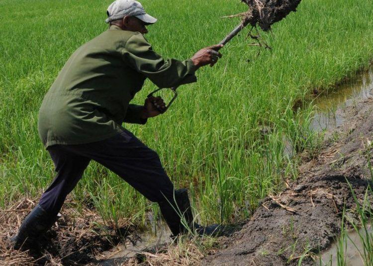 La penetración del mar afectará el cultivo del arroz en la Sierpe. Foto: Vicente Brito / Escambray.