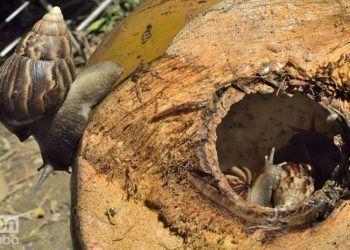 Los caracoles han invadido las tierras de una cooperativa en Arroyo Naranjo. Foto: Otmaro Rodríguez.