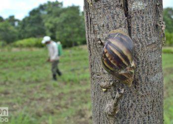 El caracol gigante africano se ha expandido con rapidez por toda Cuba. Foto: Otmaro Rodríguez / Archivo.