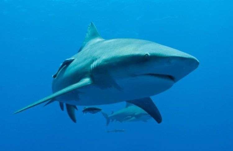 Al tiburón Toro se le atribuyen las mayor parte de los ataques reportados en Cuba. Foto: http://www.areadelfines.com.