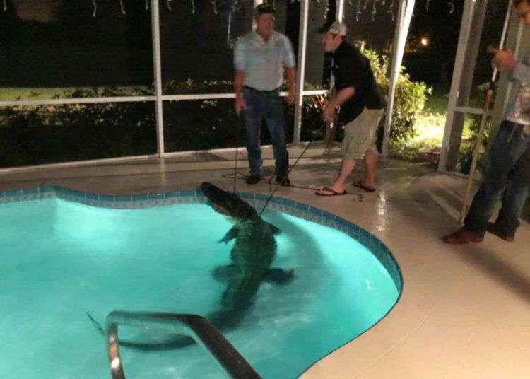 Expertos retiran a un caimán de una piscina en Sarasota, Florida. La policía recibió la llamada sobre la presencia del animal en el lugar el viernes 30 de marzo. Foto: Oficina del Sheriff del Condado Sarasota vía AP.