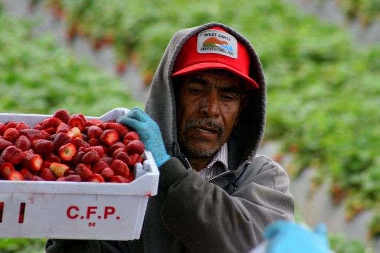 Trabajadores recolectores de fresas en Oxnard, California. En su mayoría son inmigrantes mexicanos. Foto: David Bacon / cuartoscuro.com.