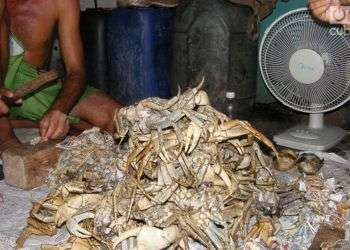 Limpiar cangrejos es un trabajo que exige práctica. Foto: Didier Cruz Fernández.
