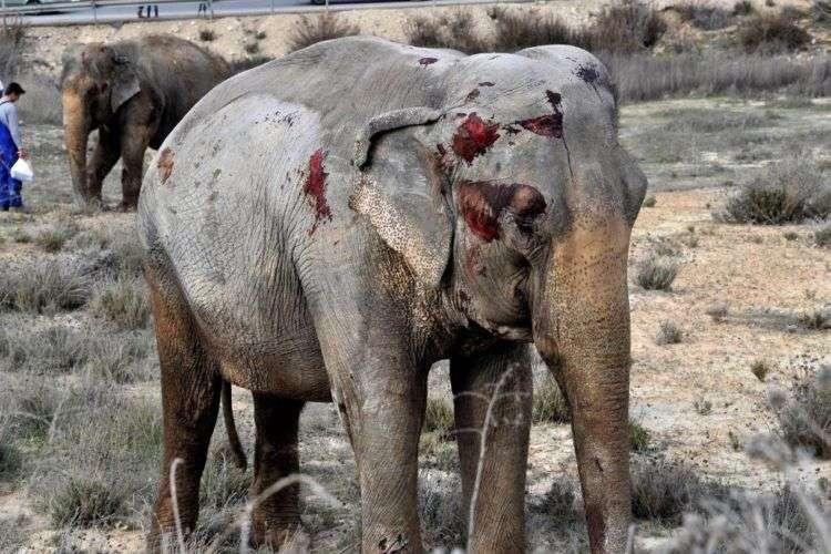 Uno de los elefantes que recibió heridas. Foto: Twitter.
