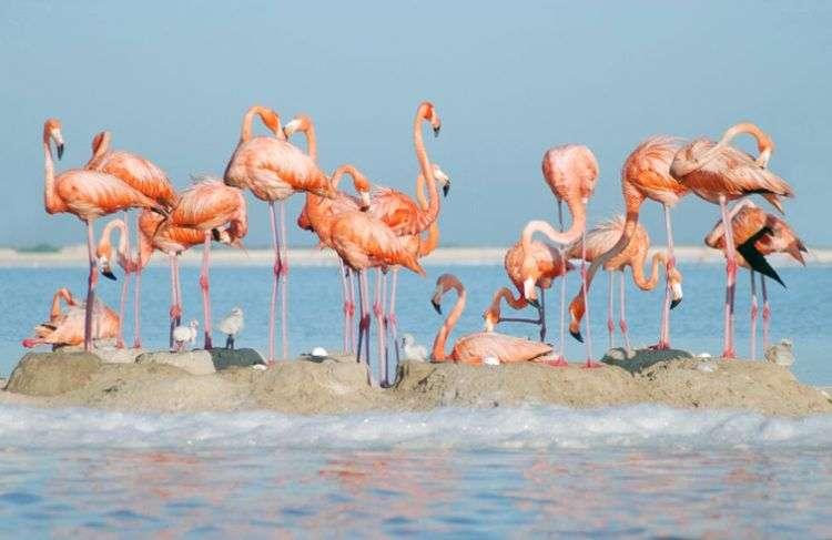 El flamenco rosado es una de las especies compartidas entre Cuba y México. En la foto, flamencos rosados en Yucatán. Foto: Yucatán Travel.