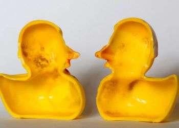 Interior de un patico de caucho. Investigadores suizos dicen que el simpático juguete de bañera oculta un secreto: los gérmenes patógenos que nadan en el interior. Foto: Ferdinand Ostrop / AP.