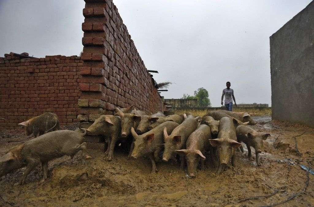 Un hombre guía un grupo de cerdos a su recinto después de alimentarlos en un día lluvioso en Greater Noida, India, el viernes 27 de julio de 2018. India recibe sus lluvias monzónicas anuales de junio a septiembre. Foto: R S Iyer/AP.