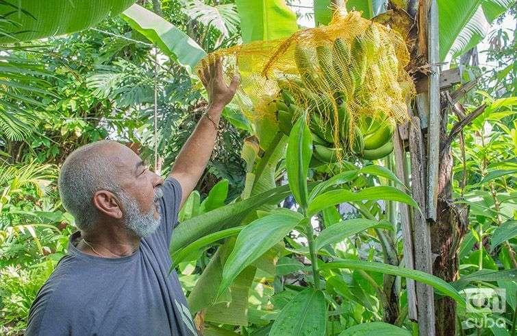 Padura junto a los plátanos que cultiva en el patio de su casa. Foto: Otmaro Rodríguez.