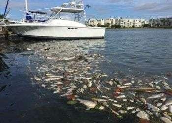 Peces flotan muertos en el suroeste de la Florida debido a la marea roja. Foto cortesía de Maureen Kloss.
