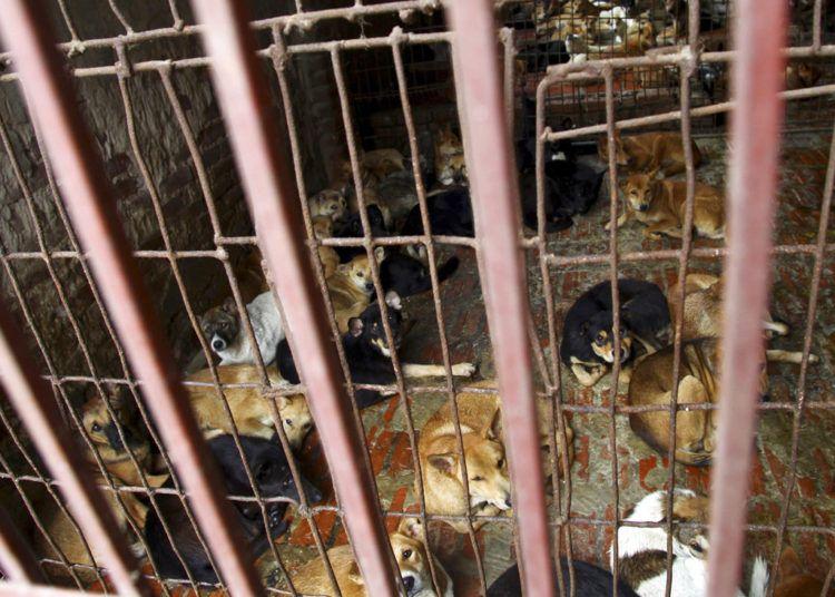 Varios perros en la jaula de uno de los mayores proveedores de perros para consumo humano en Hanói, Vietnam, en 2011. Foto: Na Son Nguyen / AP.