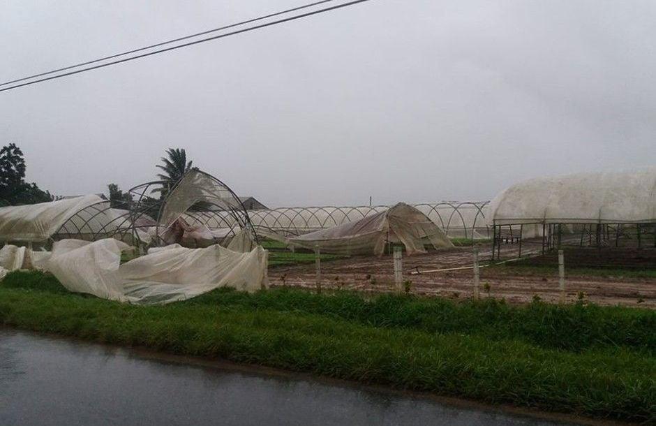 Daños a los cultivos de tabaco en Pinar del Río. Foto: Fátima Rivero Amador / TelePinar.