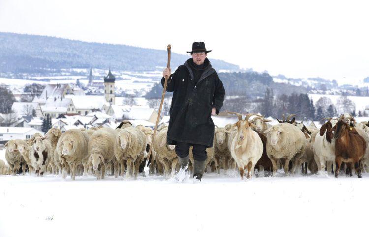 Un pastor dirige a un rebaño de ovejas y cabras sobre los campos cubiertos de nieve cerca de la aldea Langenenslingen-Wilflingen en Alemania, el viernes 11 de enero de 2019. Foto: Thomas Warnack / dpa vía AP.
