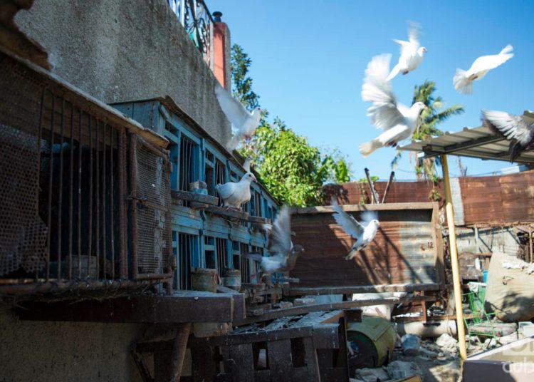Las palomas de Lázaro y Osmany, en su casa en el reparto Modelo del municipio habanero de Regla, un mes después del tornado del 27 de enero de 2019. Foto: Otmaro Rodríguez.