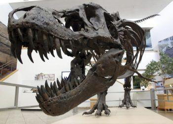 Tyrannosaurus rex exhibido en el Museo de Historia Natural y Ciencias de Nuevo México, en Albuquerque, Nuevo México. (AP Foto/Susan Montoya Bryan)