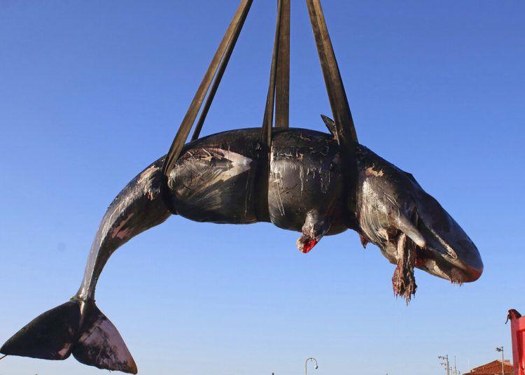Fotografía del viernes 29 de marzo de 2019 proporcionada por SEAME Sardinia Onlus de una ballena siendo colocada en un camión después de recuperarla de la isla de Cerdeña, Italia. Foto: SEAME Sardinia Onlus vía AP.