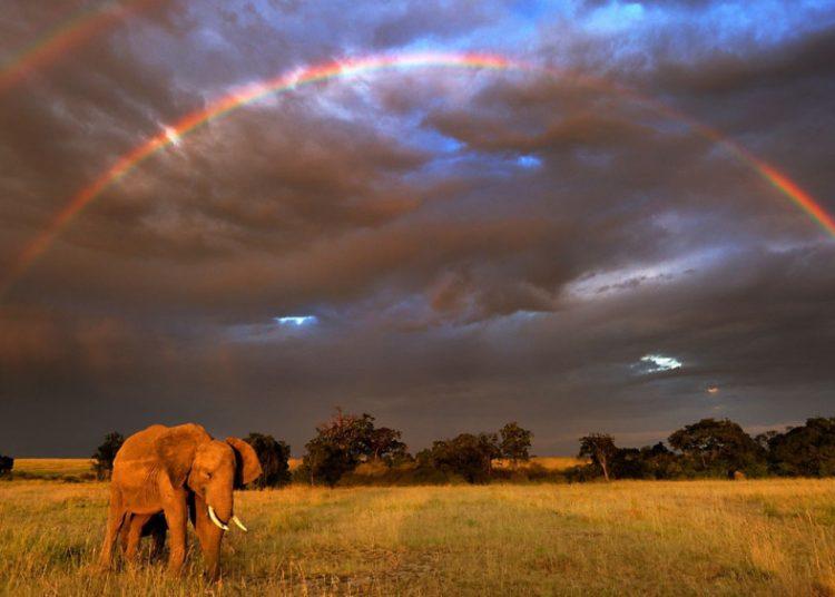Elefante africano (Loxodonta africana) en , Masai Mara GR, Kenya.