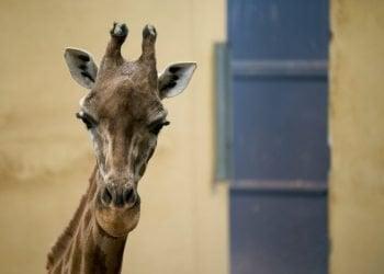 Una jirafa mira a cámara desde su recinto en el Zoológico de Barcelona, 15 de mayo de 2019. Foto: Renata Brito / AP.