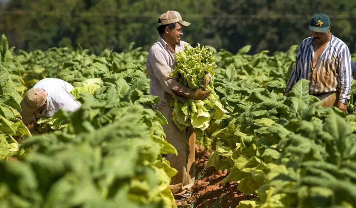 Jornaleros mexicanos recolectando tabaco en Carolina del Norte. Foto: nacion321.com