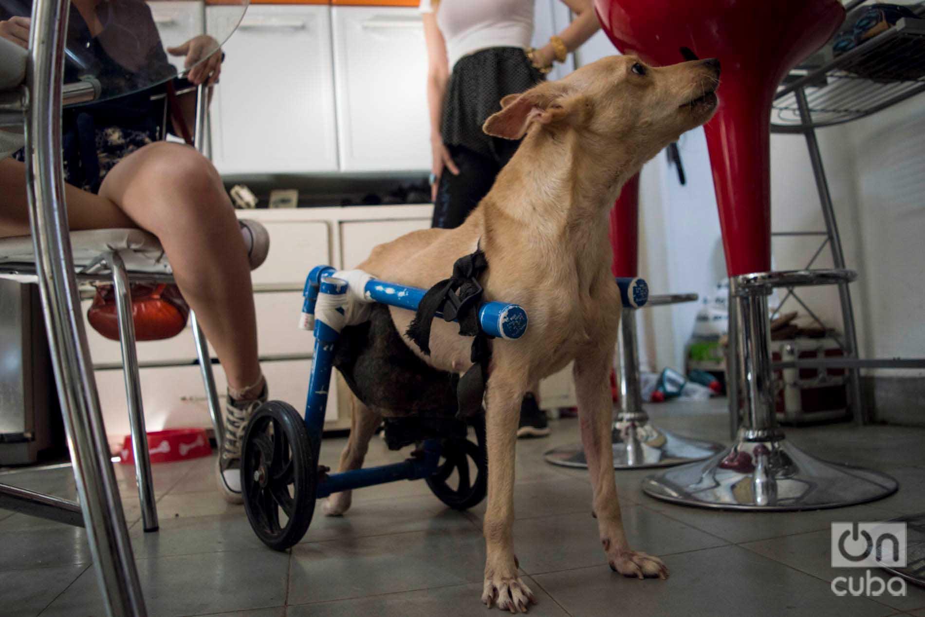 Perrita con un equipo que la ayuda caminar, en el apartamento del cerro de Venus y Ernesto. Foto: Otmaro Rodríguez.