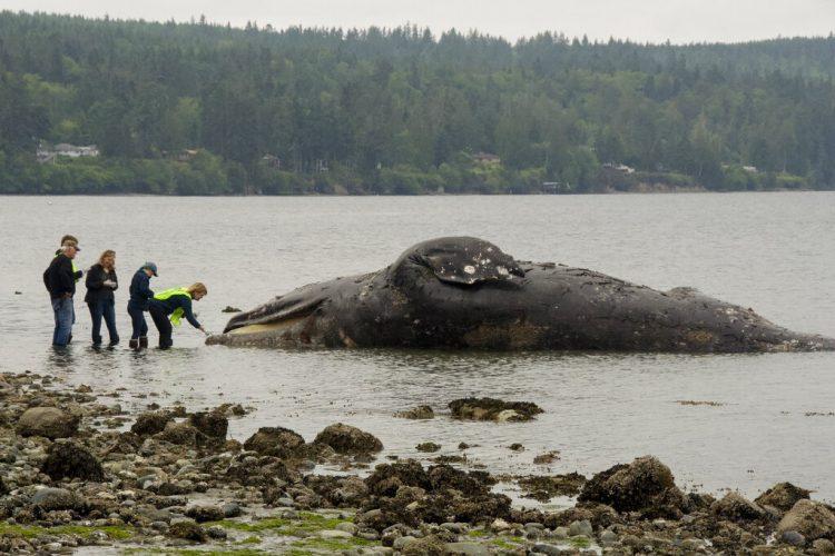 Autoridades examinan una ballena en descomposición que llegó a la costa el martes 28 de mayo de 2019 en Port Ludlow, Washington. Foto: Mario Rivera / AP.