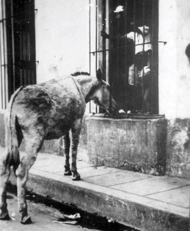 burro perico - Perico: el burrito pilongo | OnCuba News