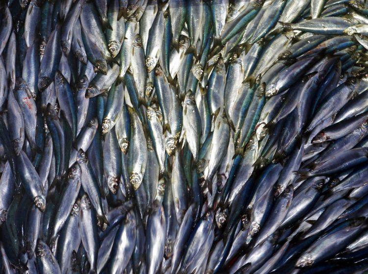 Arenques son descargados de un bote pesquero en Rockland, Maine. Foto: Robert F. Bukaty / AP / Archivo.
